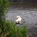 pies wodny