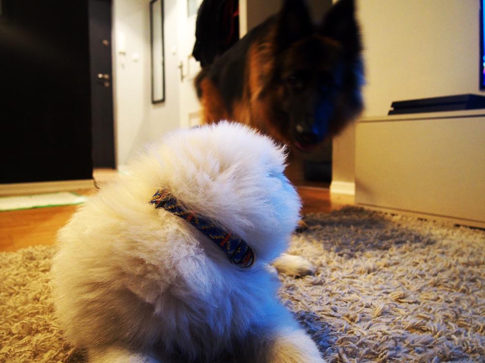 3 lata z psem szczeniak i owczarek