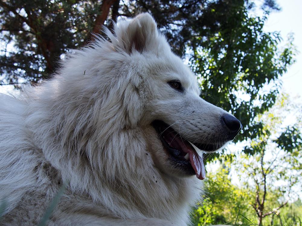 hodowcy psów 2