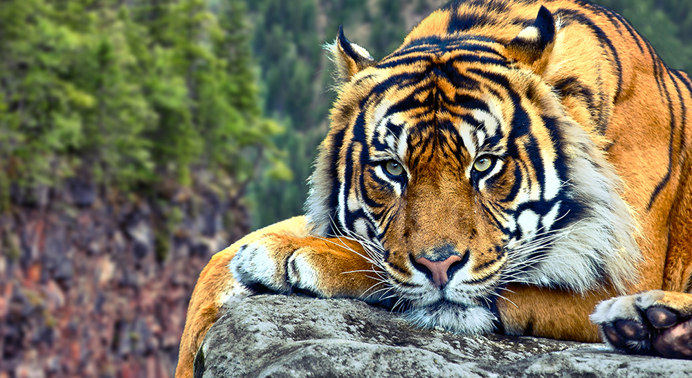 udomowienie psa i tygrysa
