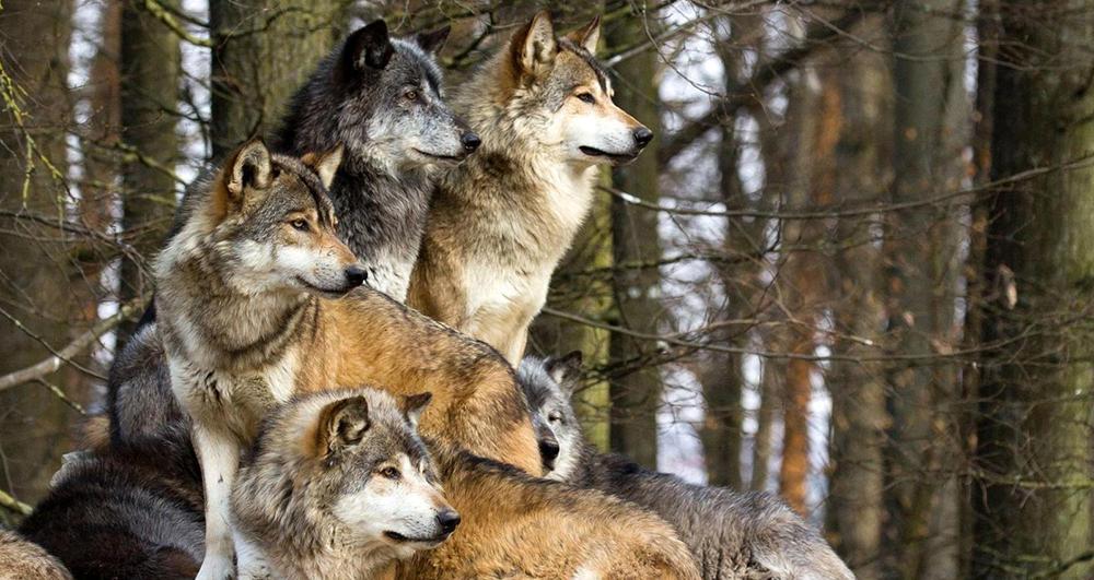 udomowienie psa wilki