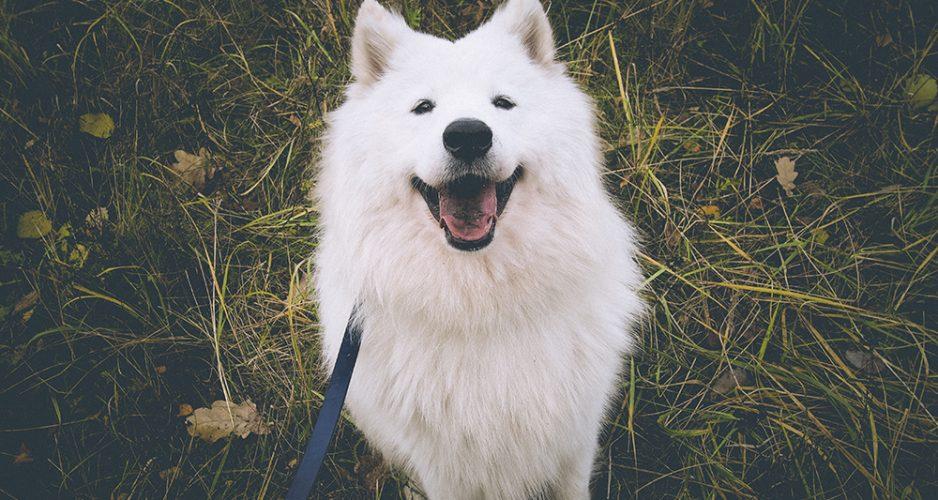 udomowienie psa