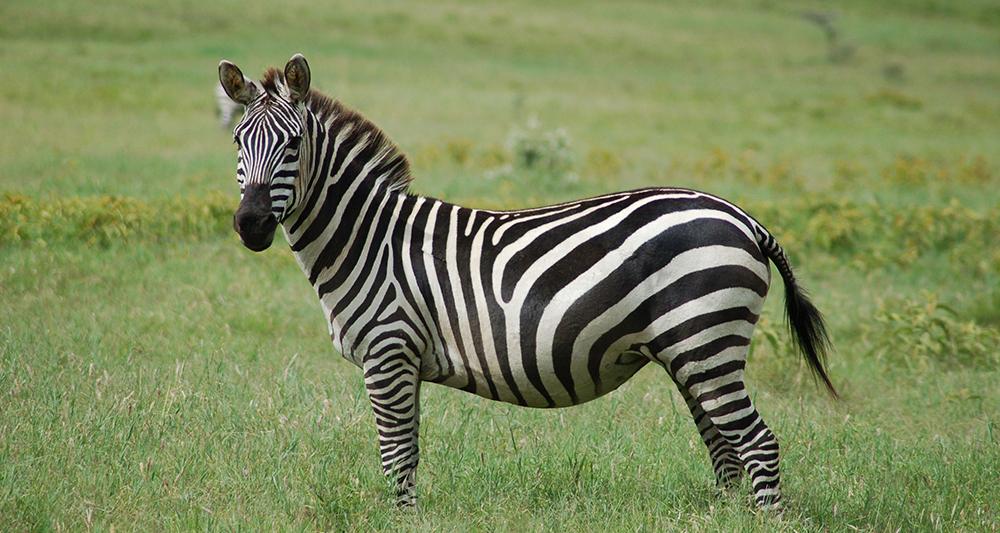 udomowienie psa i zebry