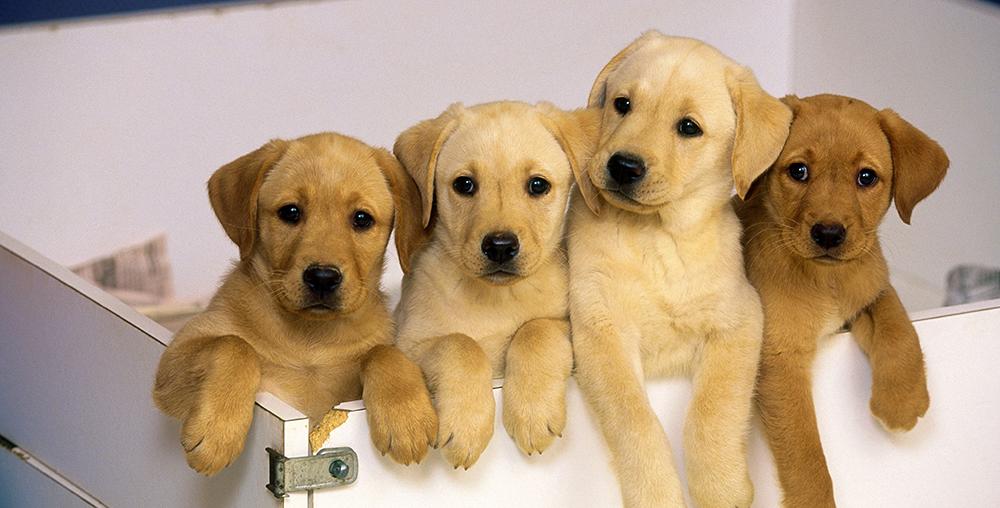 udomowienie psa szczeniaki
