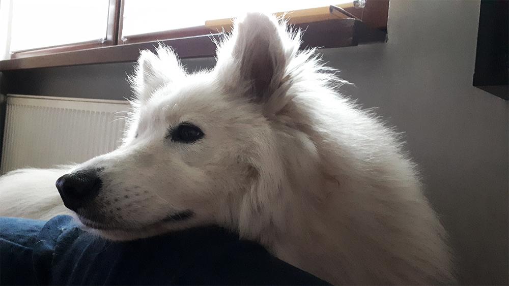 testowanie produktów na psach samojed