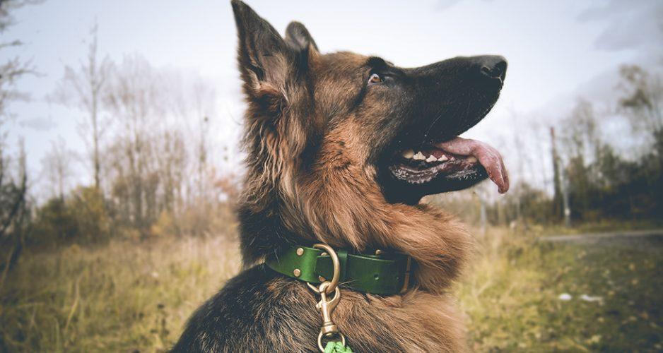 obroża skórzana dla psa zielona