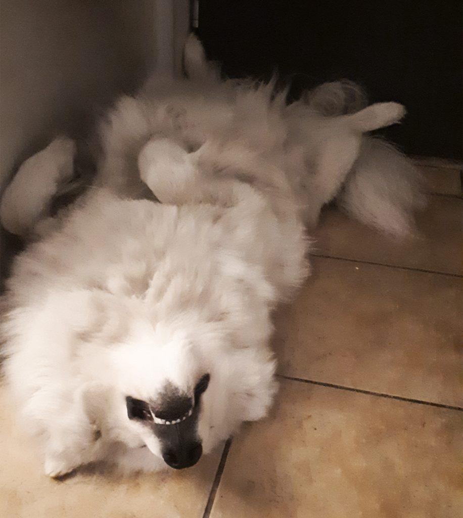 samoyed śpi
