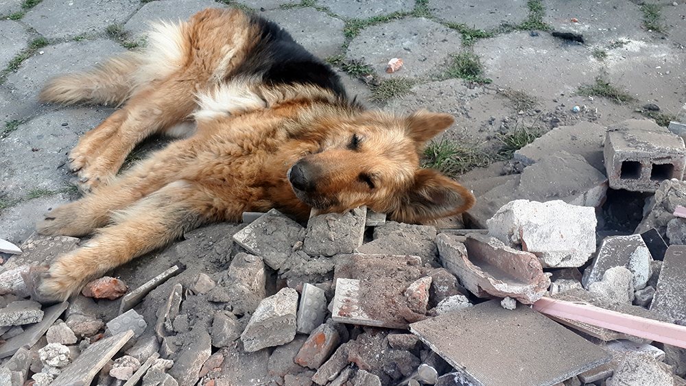 adopcja starego psa