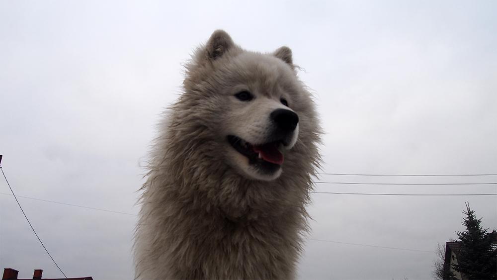 niezwykły pies samoyed