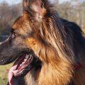 skręt żołądka u psa owczarek niemiecki