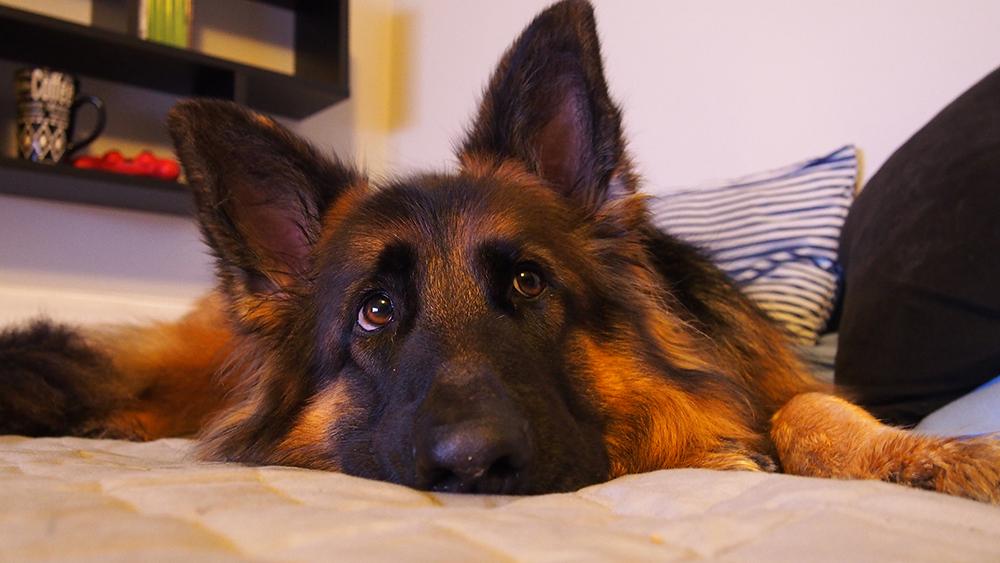 skręt żołądka u psa