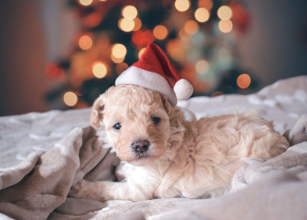 chcę mieć psa czy to dobry pomysł święta