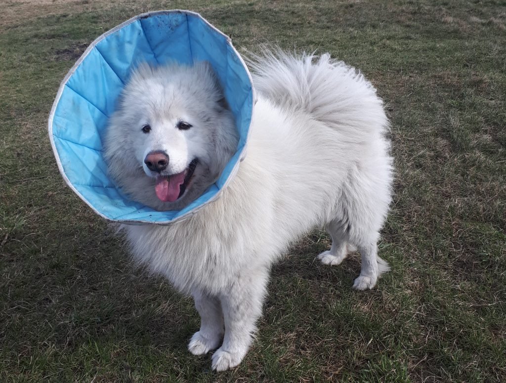 kastracja psa kołnierz