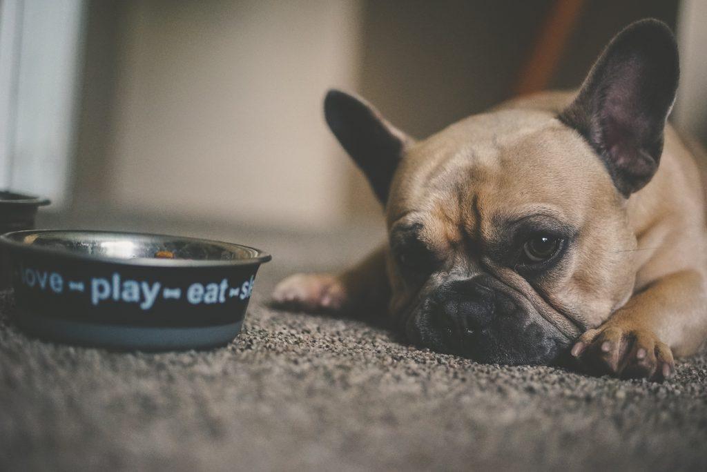 dramat zwierząt domowych pies