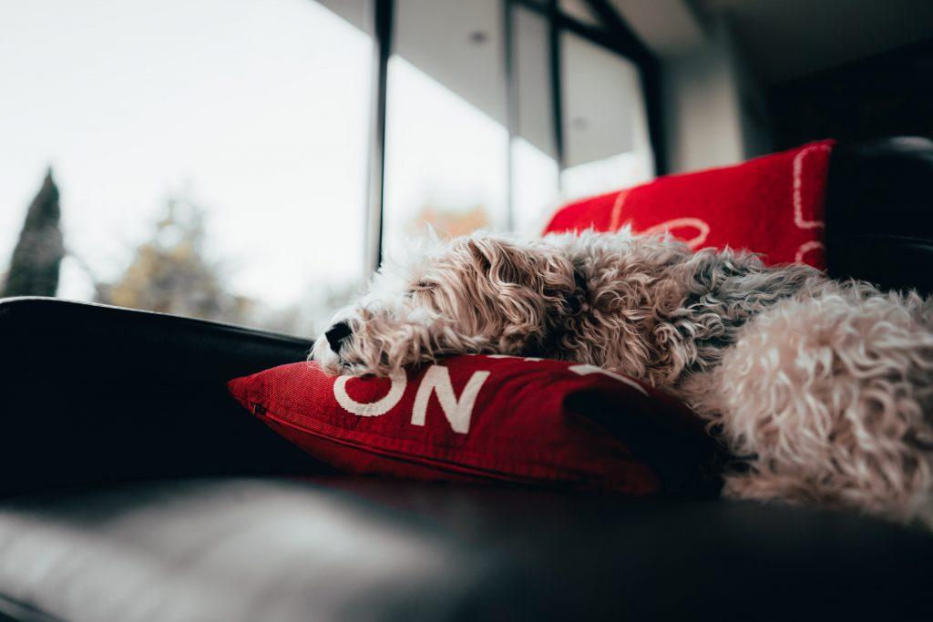 dramat zwierząt domowych psy