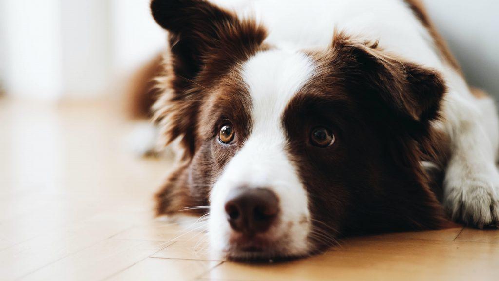 padaczka u psa leczenie