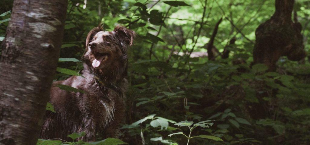 kleszcze u psa w lesie