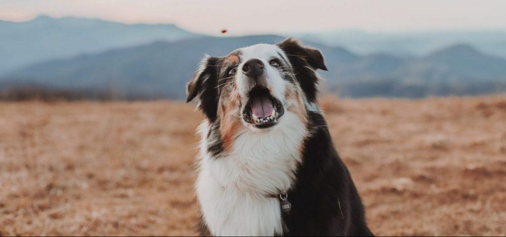 zdrowy pies