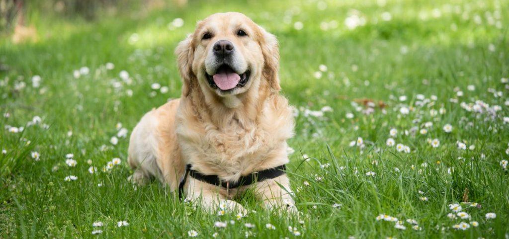 problemy z tarczycą u psa