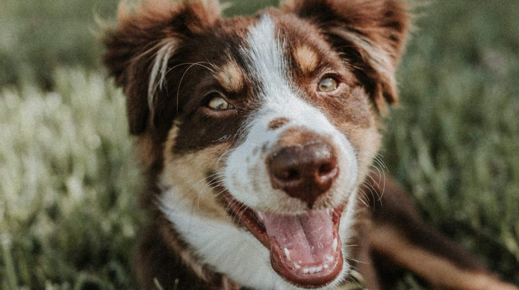 tarczyca u psa