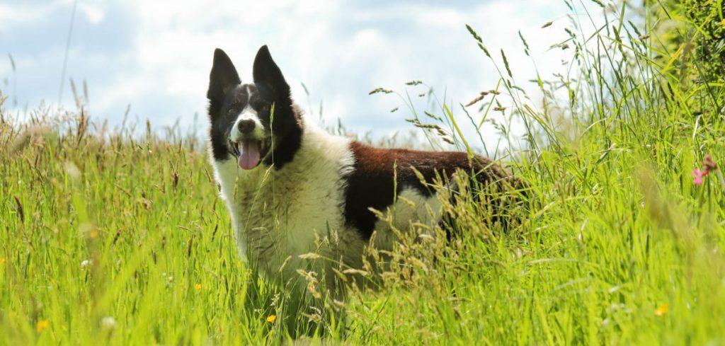 pies w lato